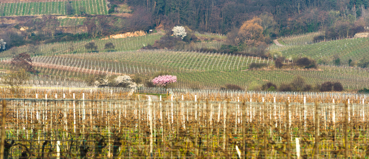 Weinberge in Forst